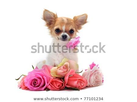 chihuahua dog with flowers on white background stock photo © ewastudio