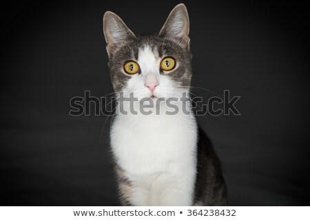 Siamese kat naar camera voorraad foto kat Stockfoto © punsayaporn