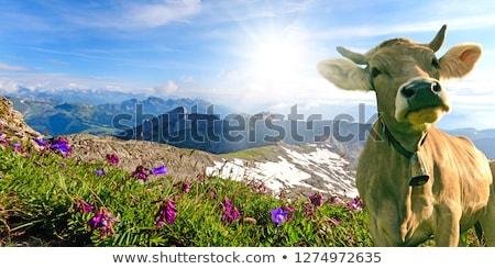 cow on the mountain meadow stock photo © pixelman