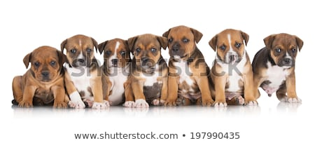 Puppy Staffordshire Bull Terrier sitting in a white studio Stock photo © vauvau