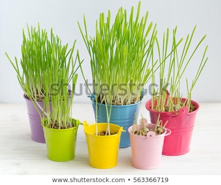 Fresh green grass in bright multi-colored buckets Stock photo © vlad_star