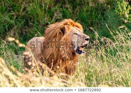 Grande masculino leão em pé alto grama Foto stock © simoneeman