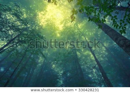 Charakter mglisty sosny lasu czerwony kamienie Zdjęcia stock © vapi