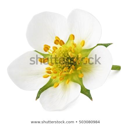 イチゴ 花 白 開花 ストックフォト © vtls