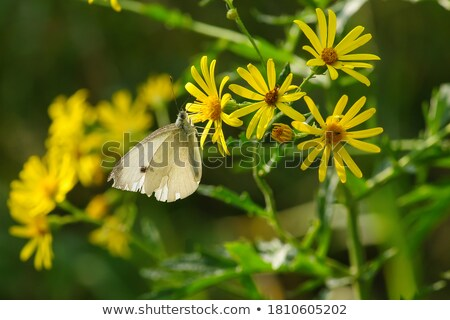 swallowtail buterfly on flower Stock photo © clearviewstock