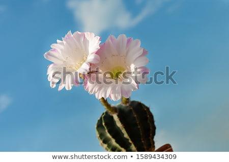 Cactus ciel détail vert ciel bleu nature Photo stock © fyletto
