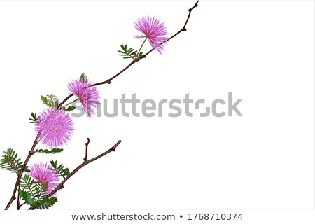 Sensitive plant flowers in the green nature stock photo © sweetcrisis