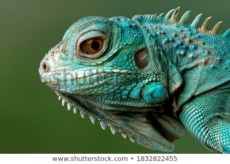 Iguana rocha fora olho verde Foto stock © oscarcwilliams