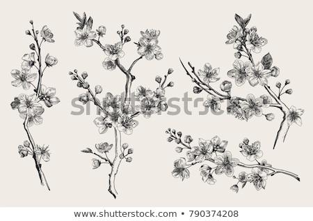 şube beyaz bahar kiraz Stok fotoğraf © ryhor