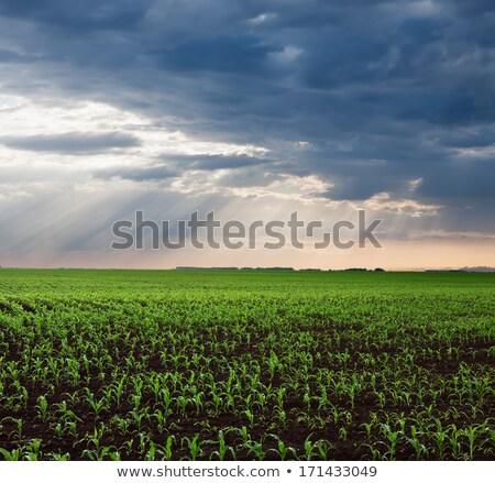 sunbeam in corn field after rain Stock photo © meinzahn