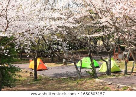 Doble flor de cerezo árbol blanco cielo Foto stock © shihina