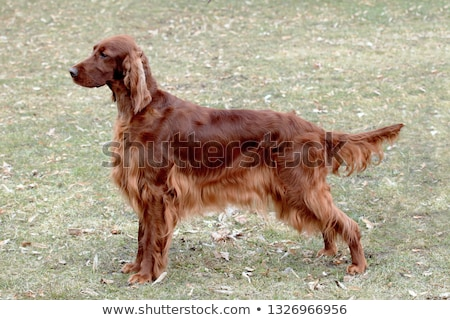 Typical Irish Red Setter in the garden Stock photo © CaptureLight
