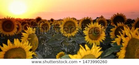 Napraforgó mező sárga virág kék ég virág háttér Stock fotó © pictureguy