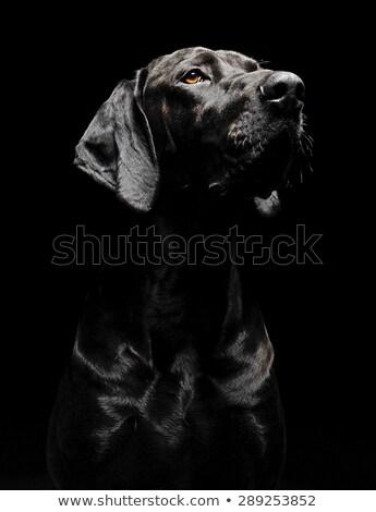 Gemengd ras zwarte hond portret donkere Stockfoto © vauvau