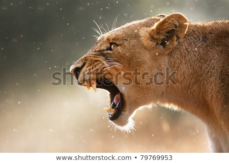Growling Lion in the Kruger National Park. Stock photo © simoneeman