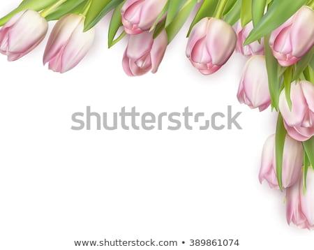 Tulipánok izolált fehér eps 10 vektor Stock fotó © beholdereye
