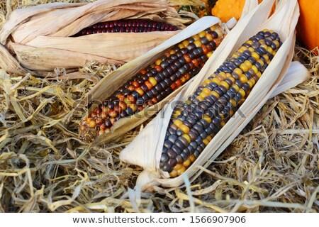 Trzy dekoracyjny kukurydza bed słomy wielobarwny Zdjęcia stock © sarahdoow
