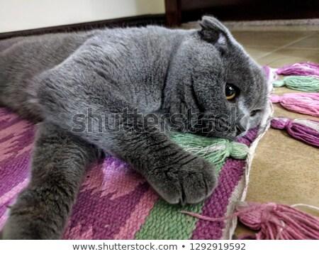 scotish  fold cat Stock photo © papa1266
