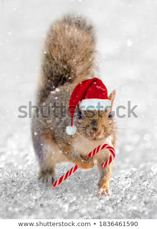squirrel with snow in winter stock photo © rabbit75_sto
