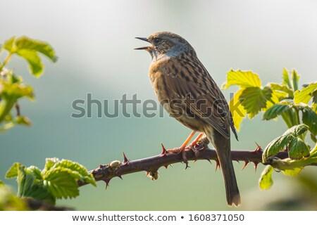 Stock photo: Dunnock (Prunella modularis)