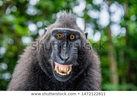 Portrait of macaque Stock photo © vankad