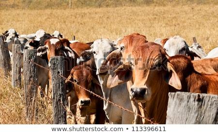 Barbed Wire Fence Restrains Brahman Cow Herd Stok fotoğraf © Sherjaca