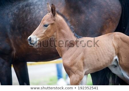 Kettő lovak sétál versenypálya Stock fotó © epstock