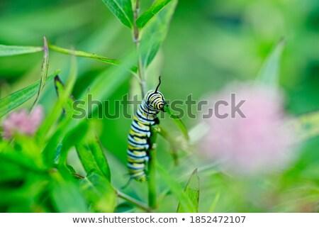 tırtıl · yeşil · yaprak · böcek · makro - stok fotoğraf © brm1949