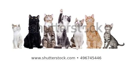 sitting grey cat looking up stock photo © karandaev