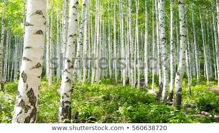 Stok fotoğraf: Gümüş · huş · ağacı · ağaç · yeşil · yaprakları · orman · güneş