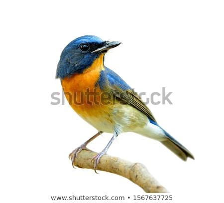 Passerine Bird Stock photo © manfredxy