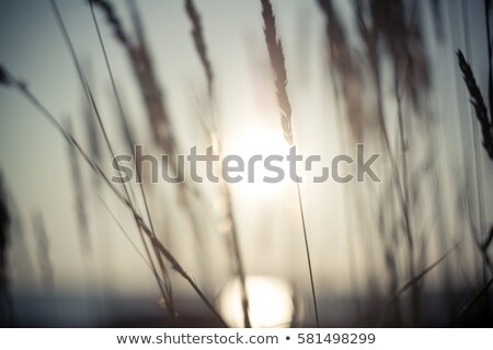 Dry blade of grass in sunset Stock photo © dinozzaver