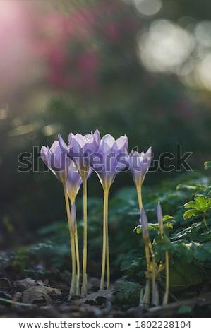 Crocus fiore erba giallo Foto d'archivio © Laks