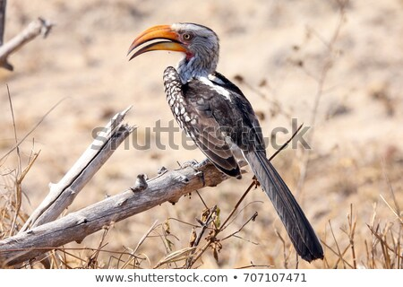 Southern Yellow-billed Hornbills Stock photo © dirkr