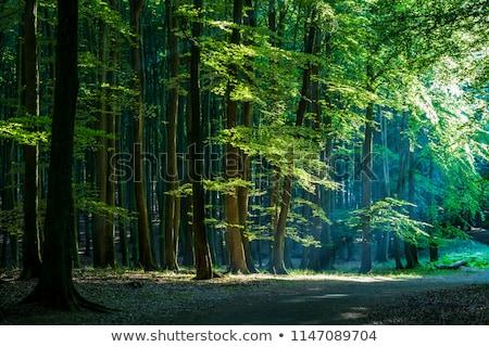 Beech trees in a forest Stock photo © elxeneize