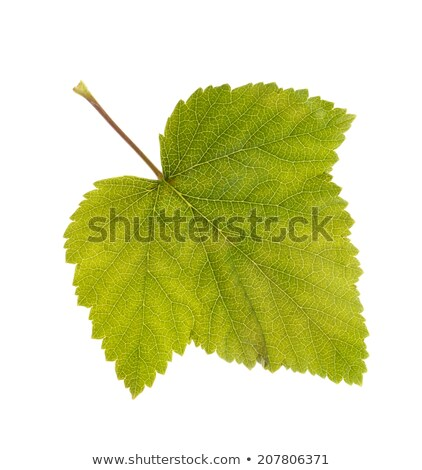 macro photo leaf of blackcurrant ablaze with light stock photo © dla4