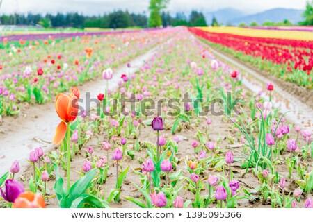 赤 · チューリップ · 春 · 雨 · スプリンクラー · 虹 - ストックフォト © vavlt
