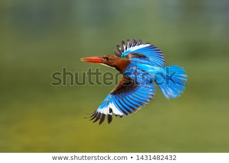 White-throated Kingfisher Stock photo © bdspn
