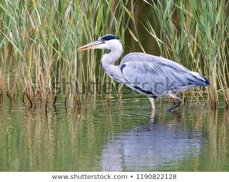 The grey heron in a stream Stock photo © mariephoto