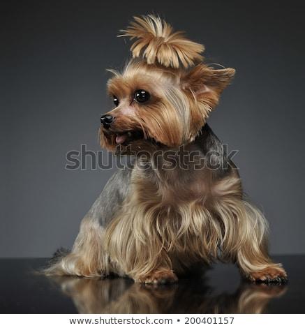 Yorkshire terrier szürke szépség sötét barát Stock fotó © vauvau