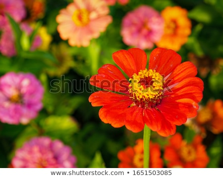 Zinnia flower with bright pink petals Stock photo © sarahdoow