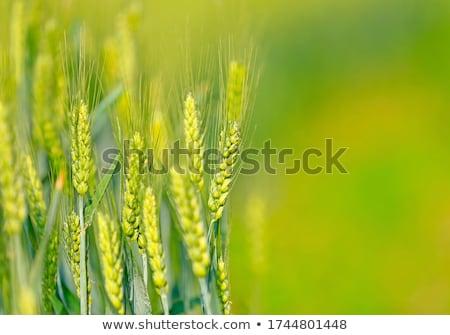 Foto stock: Imaturo · campo · de · trigo · ver · natureza · verão