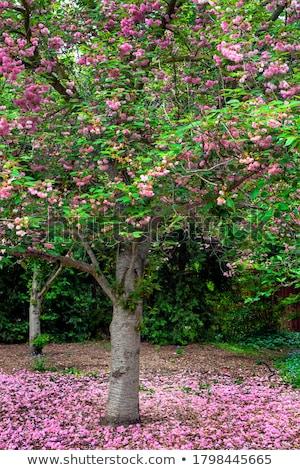 cereza · flores · de · primavera · cielo · azul · flor · primavera - foto stock © neirfy