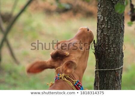 Koe welp bruin bont illustratie natuur Stockfoto © colematt