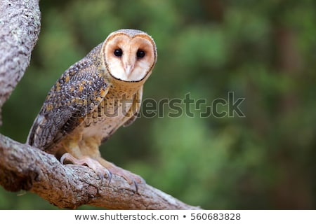 Masked owl Stock photo © ivonnewierink
