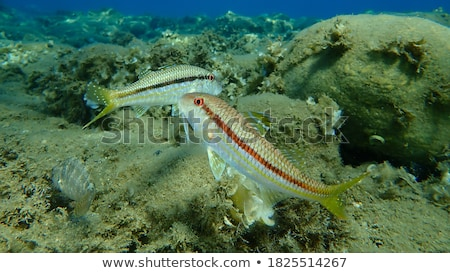 Red mullet Stock photo © ChrisJung