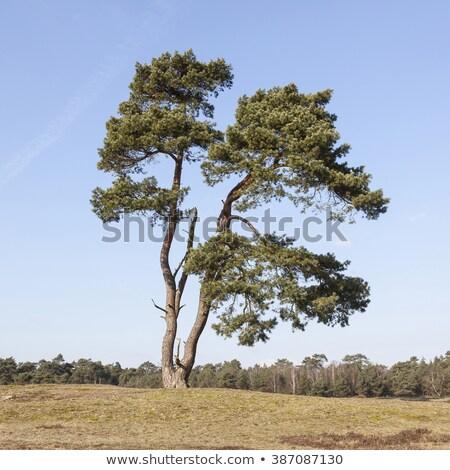 çam · havlama · ağaç · ahşap · doğa · bitki - stok fotoğraf © shutswis