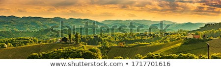 Beautiful rows of viticulture  Stock photo © digoarpi