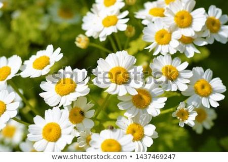 Stock photo: Feverfew-  Tanacetum parthenium, in flower