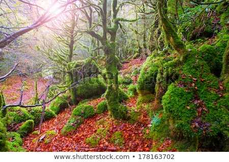 Autumn Selva de Irati beech jungle in Navarra Pyrenees Spain Stock photo © lunamarina